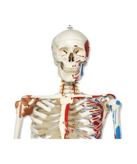 Human skjelettmodell med muskelfester og leddbånd (på hjul)