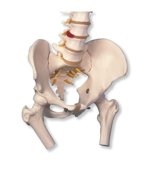 Fleksibel ryggrad med bekken og femur